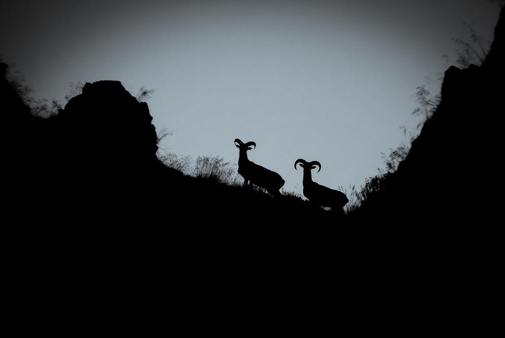 Mouflons méditerranéens
