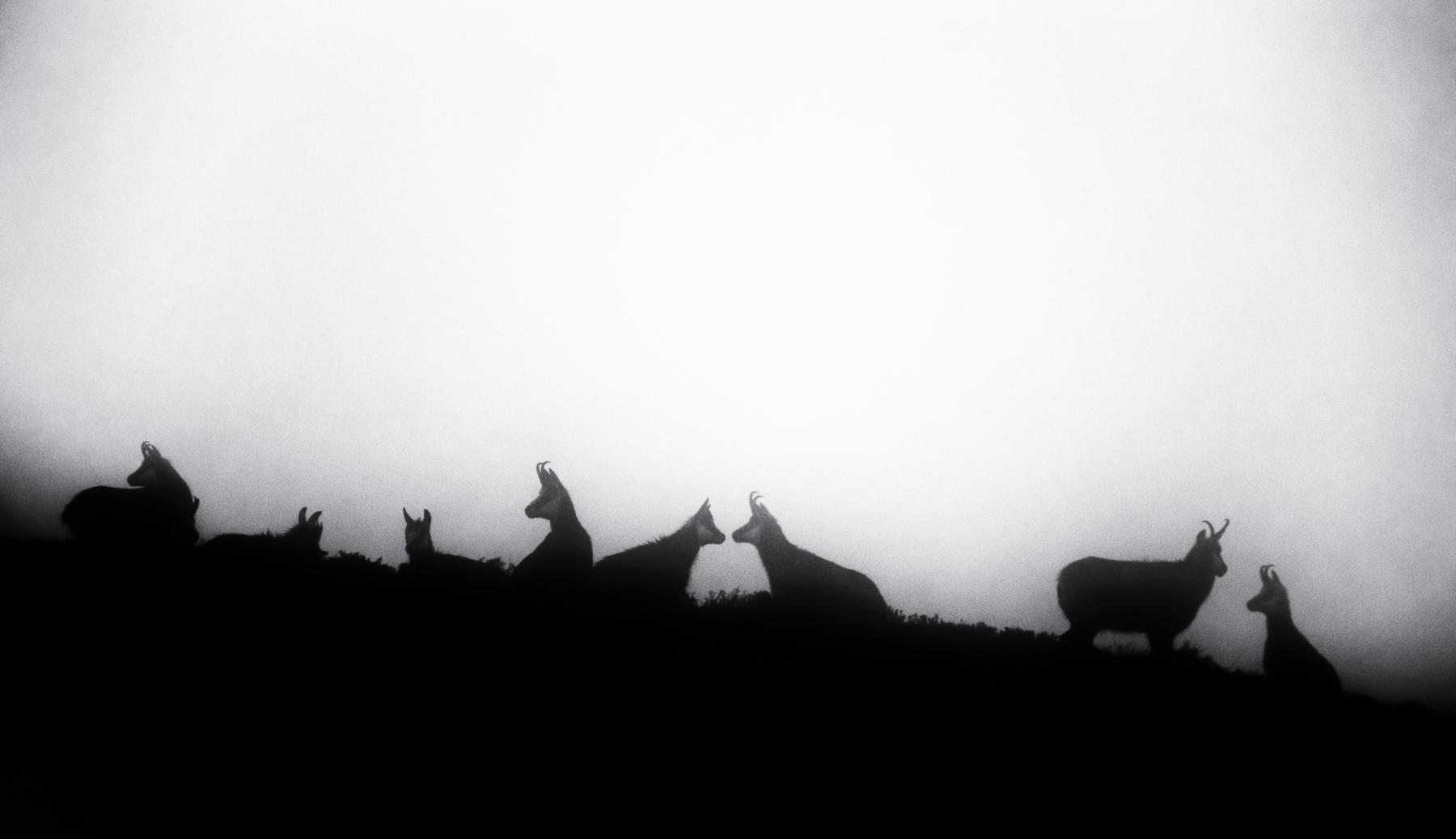 Conversation sur la crête - Chamois