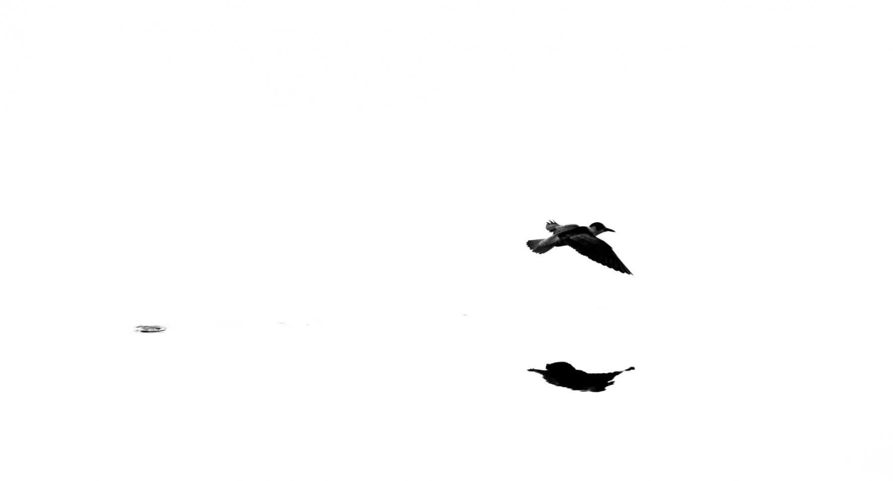 Guifette noire