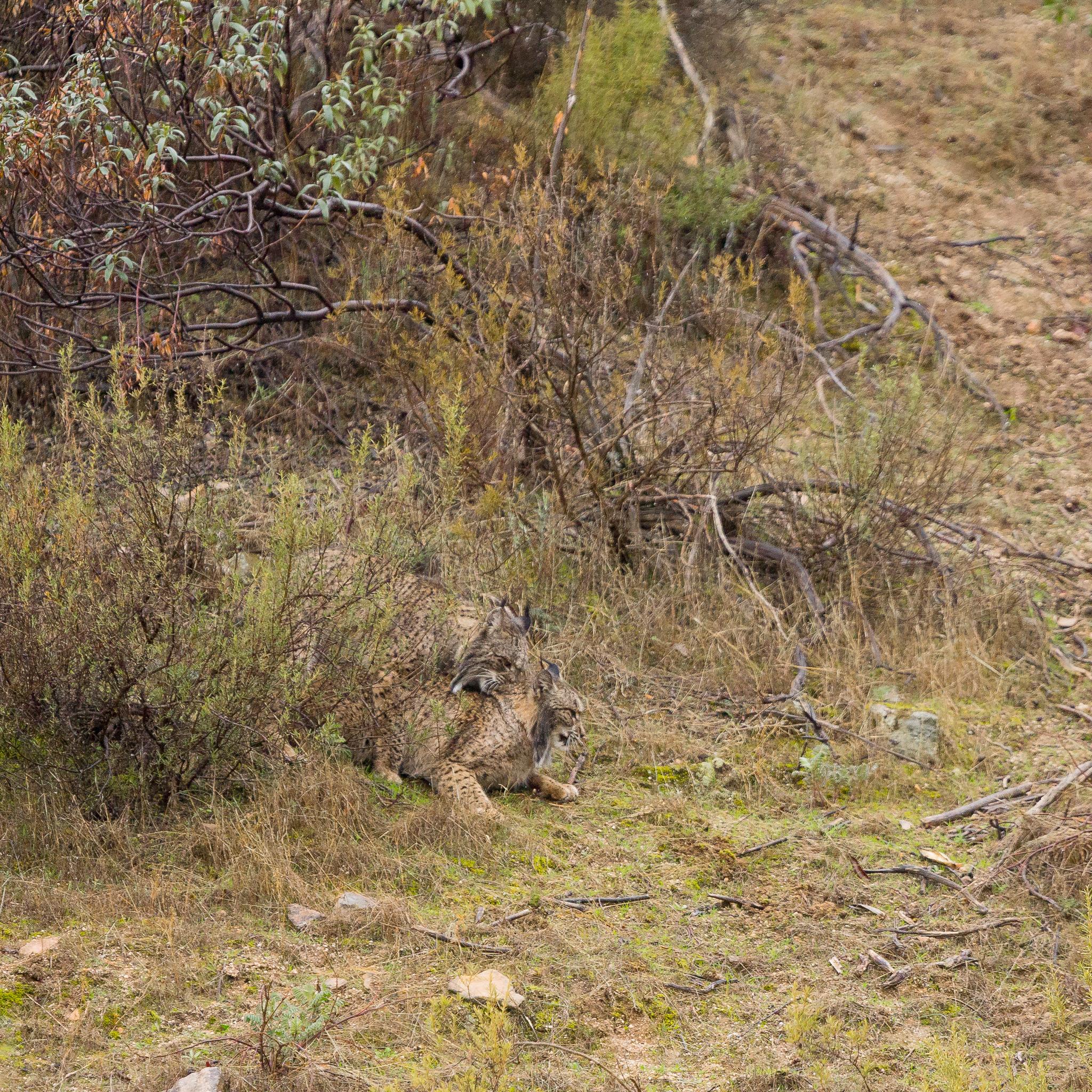 Lynx pardelle (accouplement)