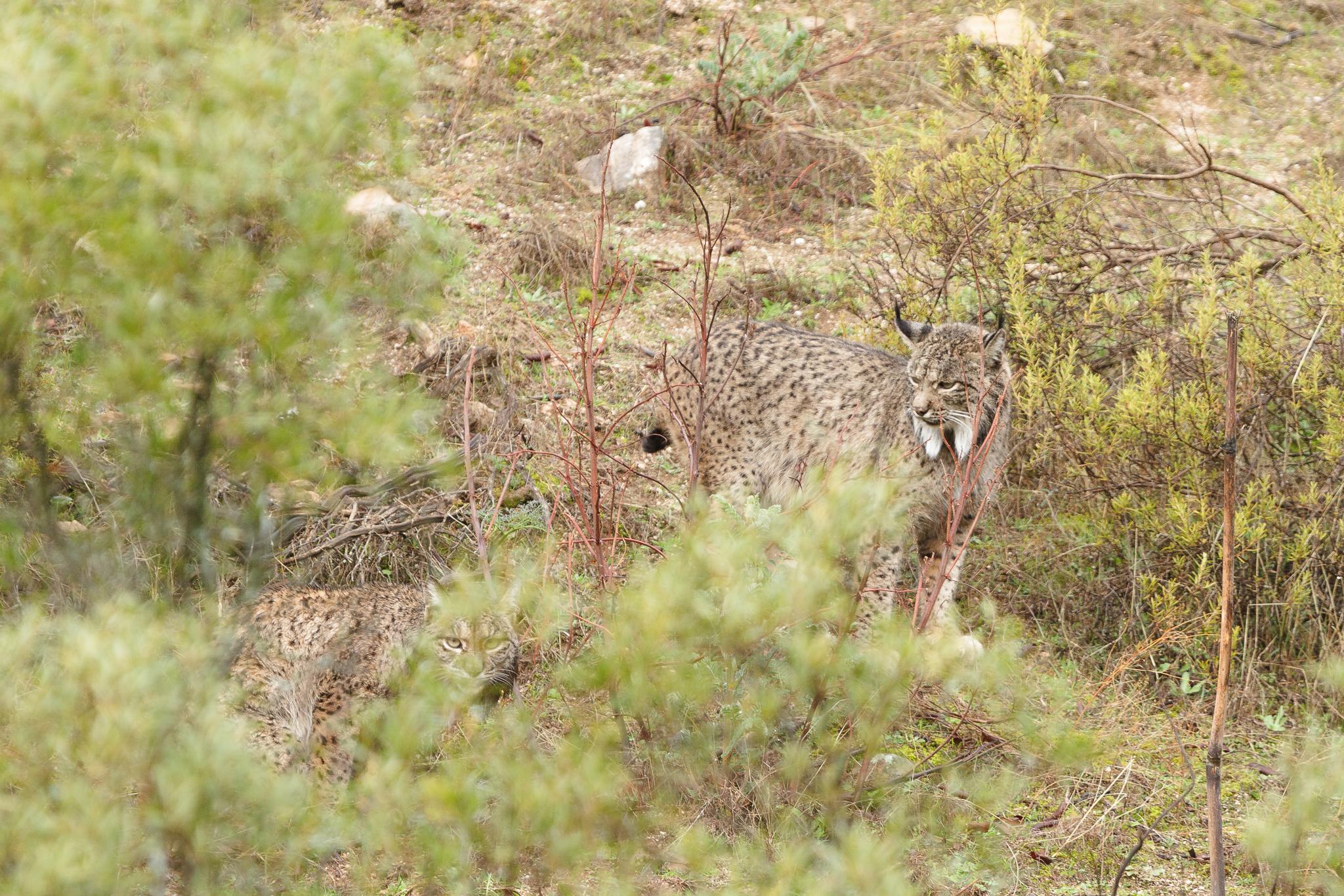 Lynx pardelle (couple)
