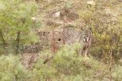 Lynx pardelle (femelle à gauche, mâle à droite)